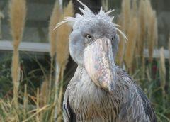 神戸どうぶつ王国の「アフリカの湿地」にいる怪鳥ハシビロコウ(写真AC/たかみー)
