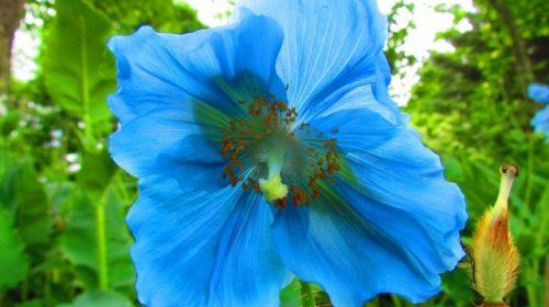 上三依水生植物園で6月前後に見頃を迎える「ヒマラヤの青いケシ」の花(K.M=KARIBITO/写真AC)