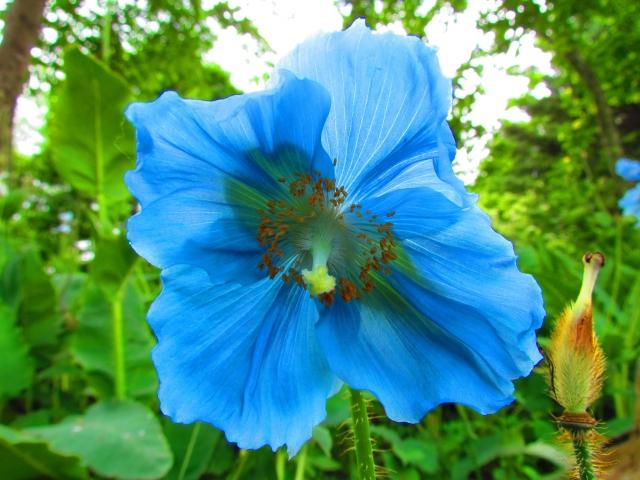 上三依水生植物園で6月前後に見頃を迎える「ヒマラヤの青いケシ」の花(イメージ)(K.M=KARIBITO/写真AC)