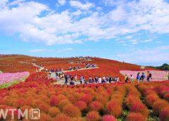 国営ひたち海浜公園「みはらしの丘」で紅葉するコキア(baccha/写真AC)