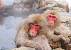 地獄谷野猿公苑で温泉に入るニホンザル(イメージ)